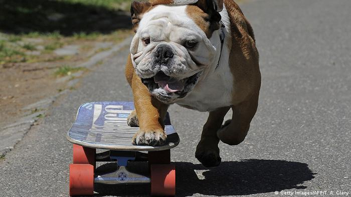 USA New York Bulldogge Tillman auf Skateboard