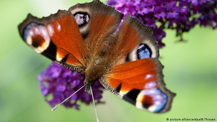 Deutschland Herdicke Schmetterling Tagpfauenauge