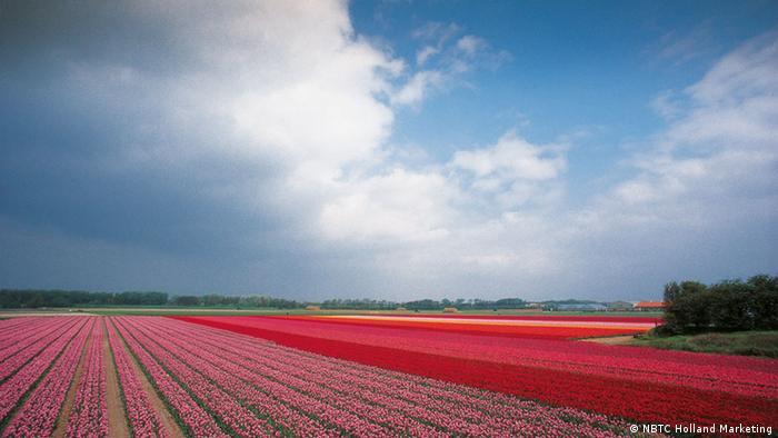 Плантации тбльпанов в Нидерландах