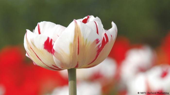 Пестролепестной сорт тюльпанов