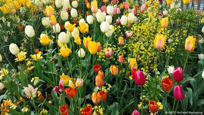 Различные сорта тюльпанов