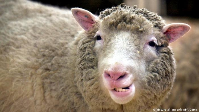 Dolly the clone sheep  Copyright: picture-alliance/dpa/PA Curtis