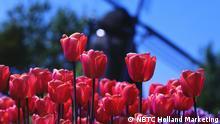 14.03.2016 +++++ Motiv: Rote Tulpen Hintergrund Windmühle unscharf (c) NBTC Holland Marketing