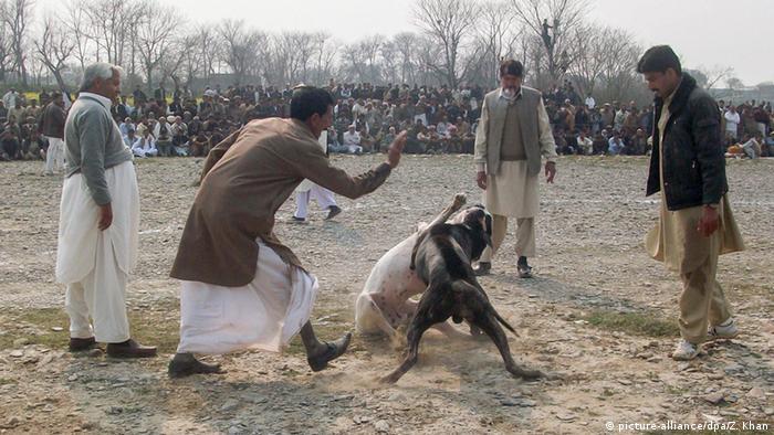 Pakistan Hundekampf in Haripur