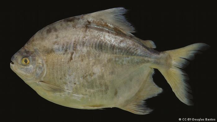 Myloplus zorroi