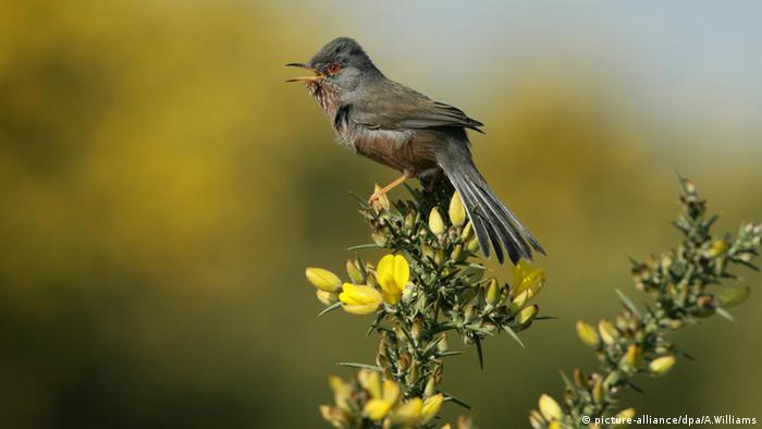 Dartford Warbler singing in a tree, UK (Photo: picture-alliance/dpa/A.Williams)