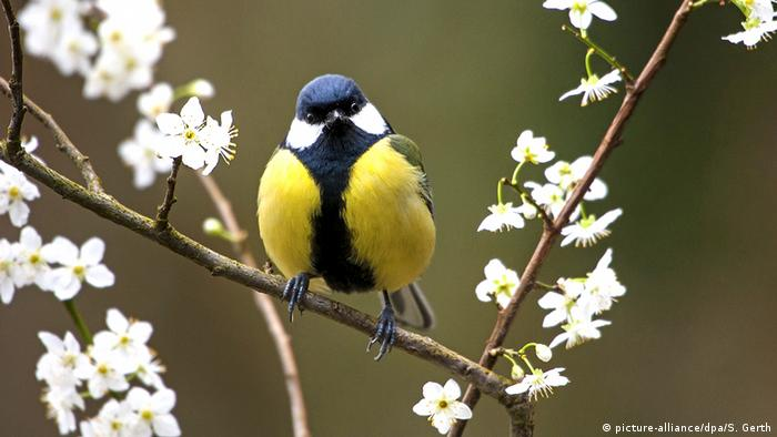 Great tit (Parus major) sits on a blooming branch in Switzerland (Photo: picture-alliance/dpa/S. Gerth)