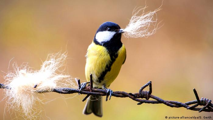 Great tit perched on barbed wire holding a bit of fuzz in its beak (Photo: picture-alliance/dpa/S. Gerth)