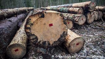 Срубленные здоровые деревья