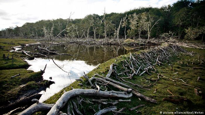 Feuerland abgestorbene Bäume Biber Dämme Teiche