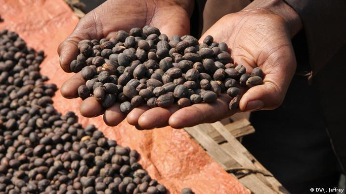 Äthiopien: Kaffee-Bohnen aus Bonga (Foto: James Jeffrey/DW)