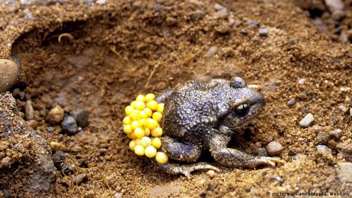 Midwife toad carrying eggs (Picture: picture-alliance/dpa/ L. Webbink)