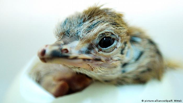 Ostrich chick hatches out of the egg