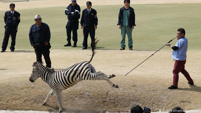 The Zebra had escaped from a riding school at a farm in Japan