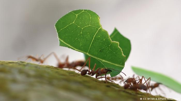 Leaf-cutter ants at Playa Blanca, Cahuita, Costa Rica
