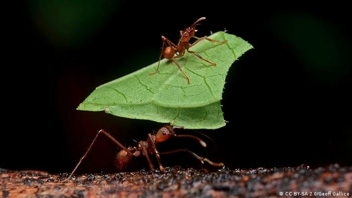Leaf-cutter ants carry leaves