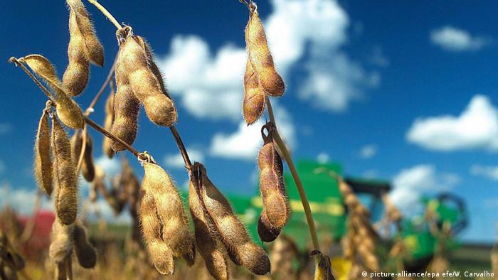 GMO soybeans on a stalk (picture-alliance/epa efe/W. Carvalho)