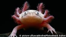 Albino Axolotl Schwanzlurch