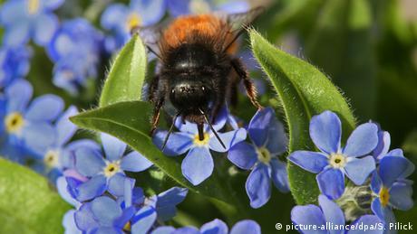 Eine Biene sitzt auf einer Vergissmeinnicht-Pflanze