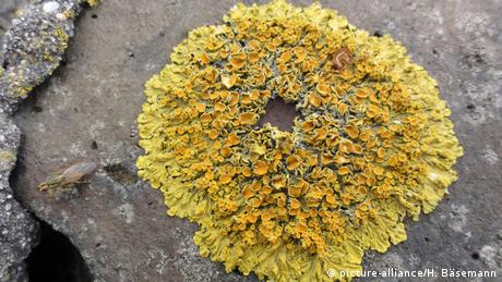 Yellow lichen(Picture: picture-alliance/H. Bäsemann)