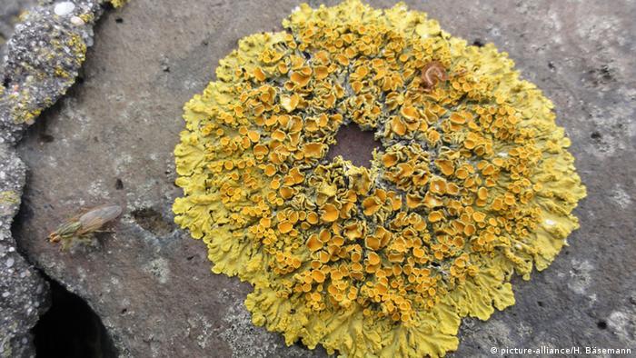 Yellow lichen(Picture: picture-alliance/H. Bäsemann)