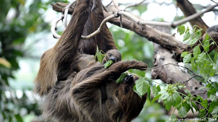 Sloth and its baby (Picture: picture-alliance/dpa/D. Gluck)