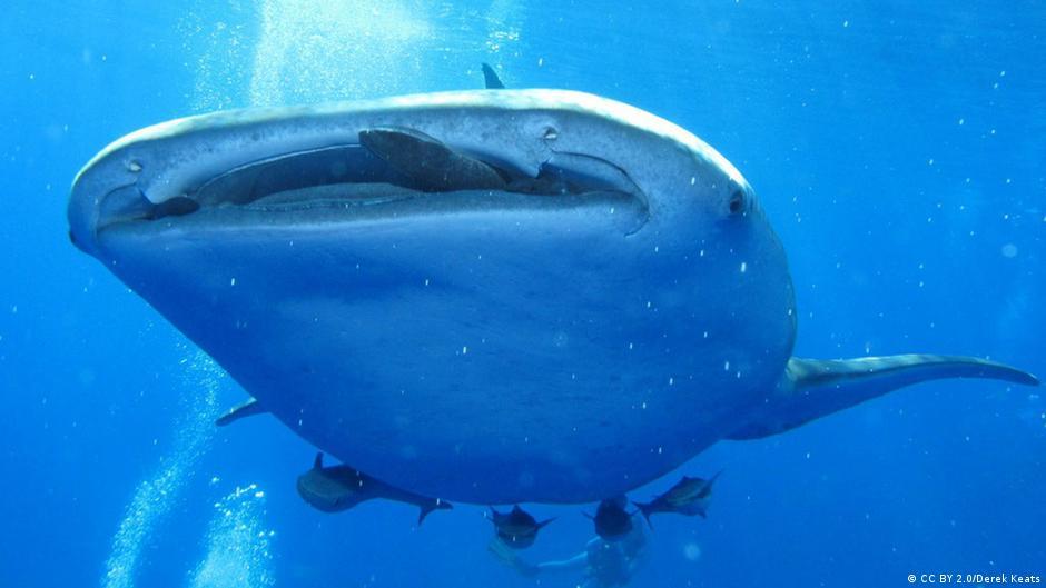 Divers spot GREAT white shark near Hawaii | News | DW