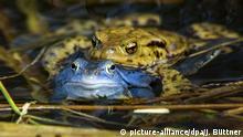 Болотные лягушки в Роггендорфе (Мекленбург-Передняя Померания)