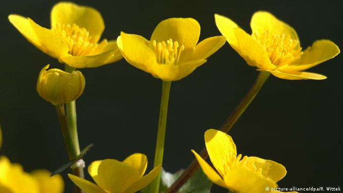 Deutschland Gelbe Blüten einer Sumpfdotterblume