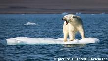 Eisbär auf kleinen Eisscholle