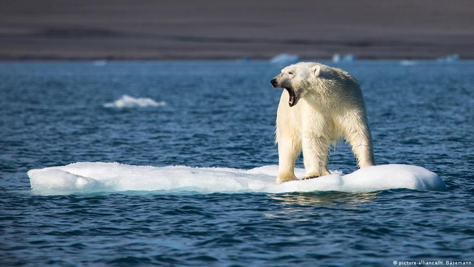 Polar bears are increasingly under threat from retreating sea ice