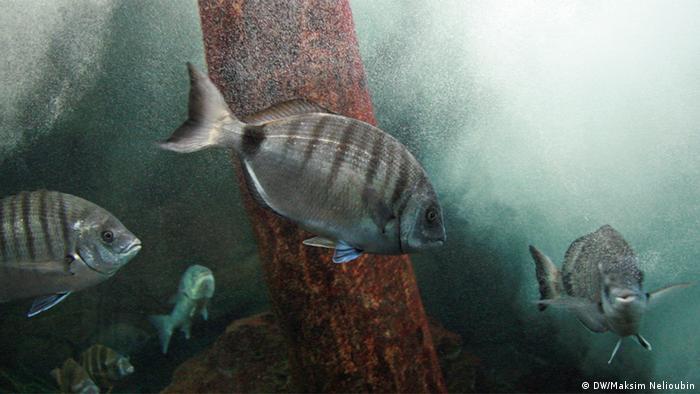Ozeaneum Stralsund Zebrabrasse