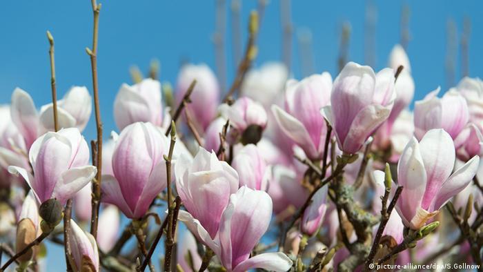 Magnolie Blüten Braunschweig