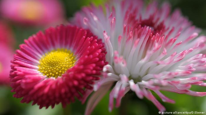 Tausendschönchen Bamberg Blume