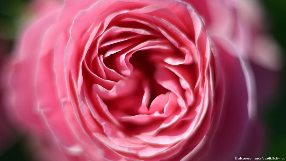 Sind Rosen Für Valentinstag Schlecht Für Die Umwelt? 14.02.2017