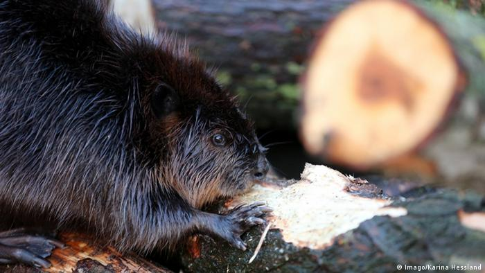 Beaver in zoo in Germany (Imago/Karina Hessland)