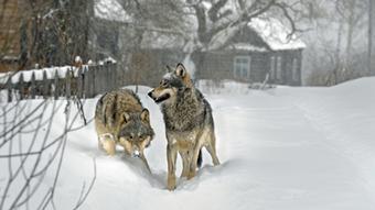 08.04.2016 DW Doku Radioaktive Wölfe Wolf im Dorf