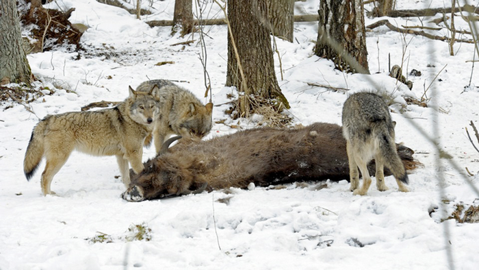 Wolf Germany wolf cub hybrids the chopping block in germany dw