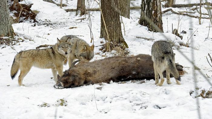 08.04.2016 DW Doku Radioaktive Wölfe Wölfe fressen Bison