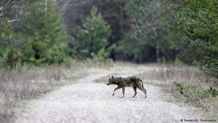 A wolf crosses a road in a forest in the 30-kilometer exclusion zone around Chernobyl (Photo: Reuters/V. Fedosenko)