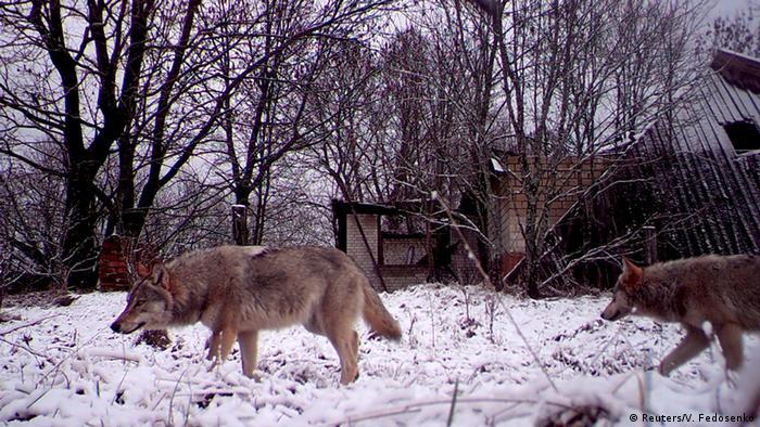 Životinje su se vratile u kontaminirano područje