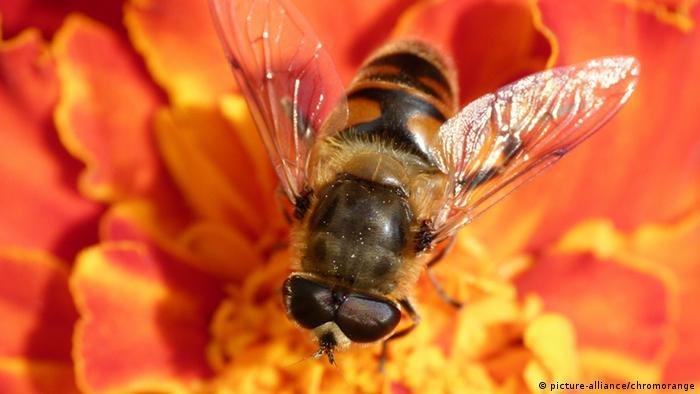 Biene auf Blüte (picture-alliance/chromorange)