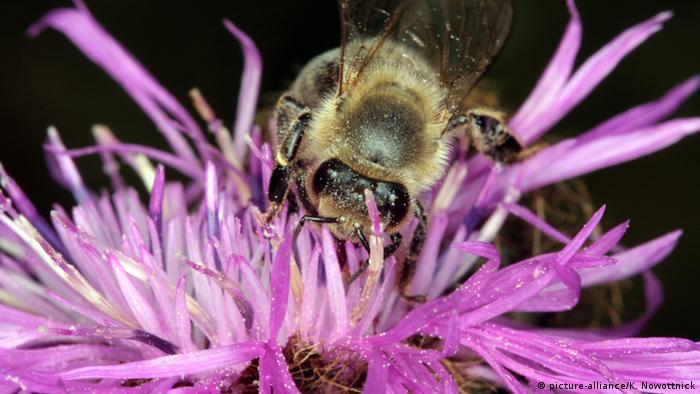 Biene auf Blüte (picture-alliance/K. Nowottnick)