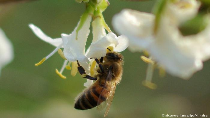 Biene auf Blüte (picture-alliance/dpa/H. Kaiser)