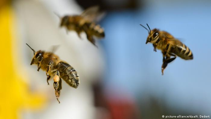 Photo: Bees in flight. Source: picture-alliance/dpa/A. Dedert