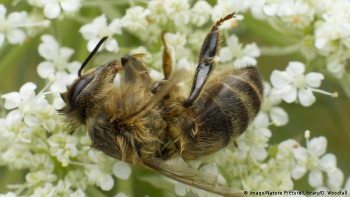 Eine sterbende Biene auf einer Holunderblüte (Imago/Nature Picture)