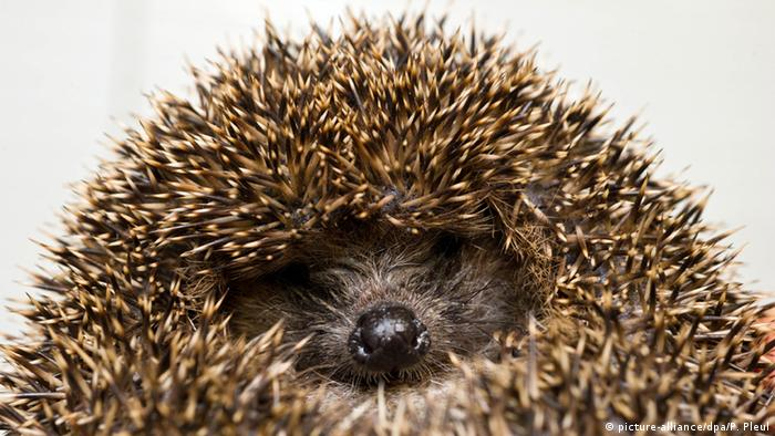 a headgehog (picture-alliance/dpa/P. Pleul)