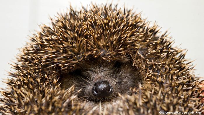 a headgehog (picture-alliance/dpa/P. Pleul)