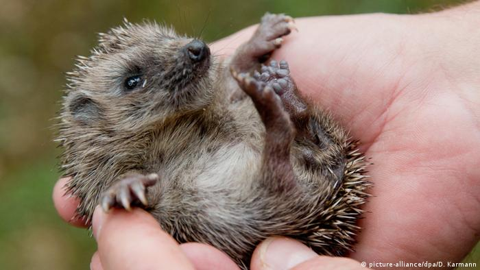a baby hedgehog in a person's hand (picture-alliance/dpa/D. Karmann)