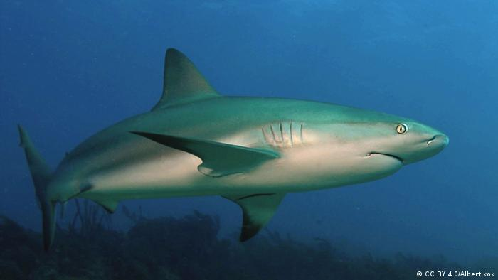 Coral Reef shark